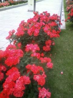 rose @yokosuka